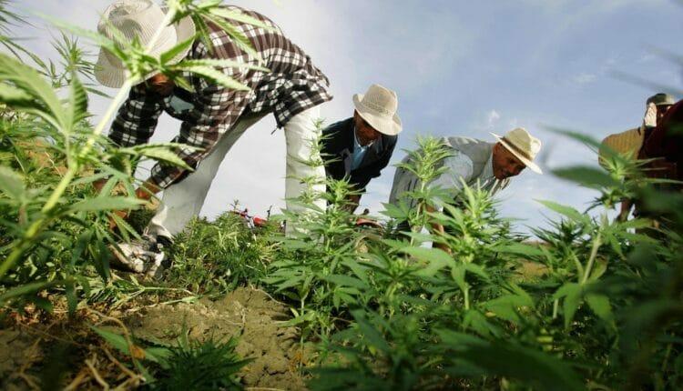 مزارعو الكيف القنب الهندي في المغرب